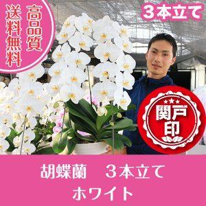 胡蝶蘭ホワイト