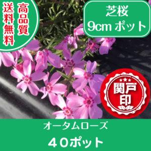 autumnrose40
