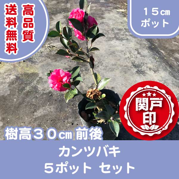 kantsubaki5p