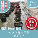 hatsuyukikazura30-5p