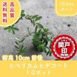 hypericumhidcote10-10p