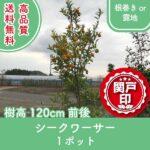 shikuwasa120-1p
