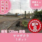 yamazakura120-1p
